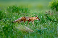 Adult Swift fox (Vulpes velox) in grassland habitat.