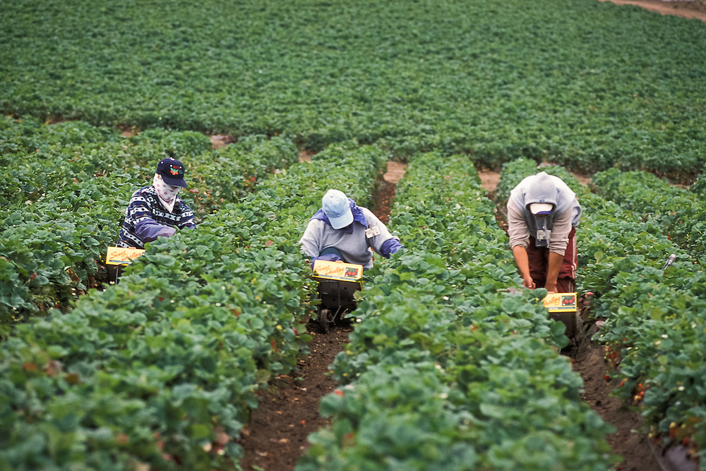 WATSONVILLE, CALIFORNIA - Farm workers harvest strawberries