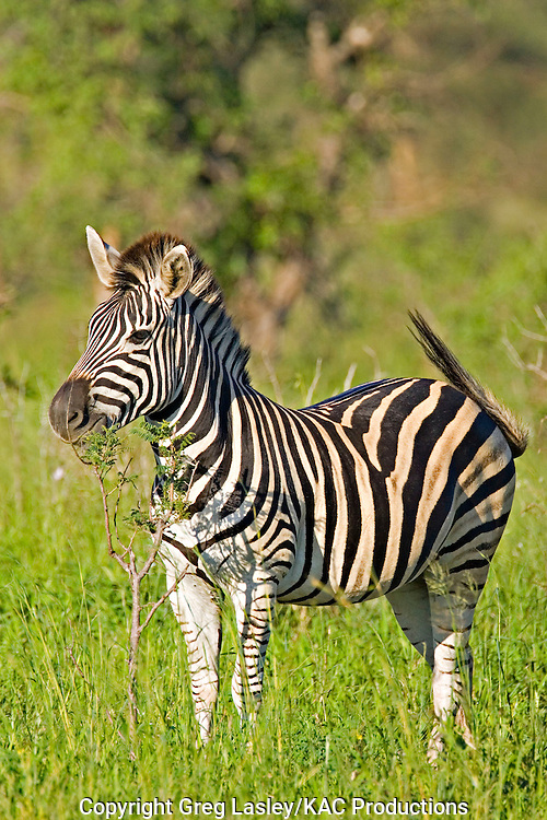 Burchell's Zebra.Equus burchelli.AKA Plains Zebra.near Satara camp,.Kruger National Park,.Mpumalanga Province,.South Africa.14 January 2006.