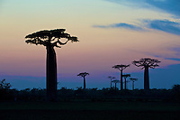 Grandidier's baobab tree (Adansonia grandidieri) Silhouetted at sunrise, Western Madagascar