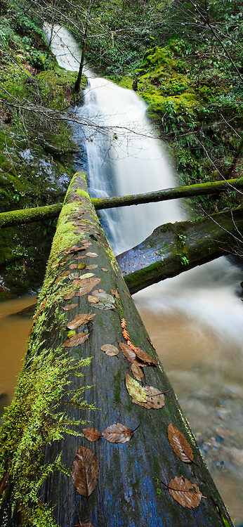 Alder leaves and moss on redwood logs below a waterfall in Willow Creek, a tributary of the Russian River in Sonoma Coast State Park near Jenner, California