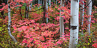 Brightly colored maple leaves in Fall mix with the steady aspen trees in Utah's Wasatch Mountains.