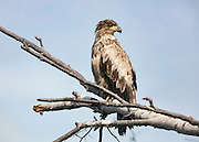 Alaska.  An immature Bald Eagle (Haliaeetus leucocephalus) perched on a dead birch tree near Anchorage in late May with a light blue sky in the background.