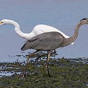 Egret & Heron, Bolinas Lagoon, California