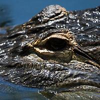 American Alligator, Alligator mississippiensis, closeup