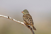 Ortolan Bunting (Emberiza hortulana) on an acacia tree in the desert, wintering in Negev, Israel