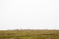 Reindeers near Kringilsárrani in the highlands of Eastern Iceland. Rain and fog.<br /> <br /> Hreindýrahjörð inn á Kringilsárrana. Rigning og þoka.