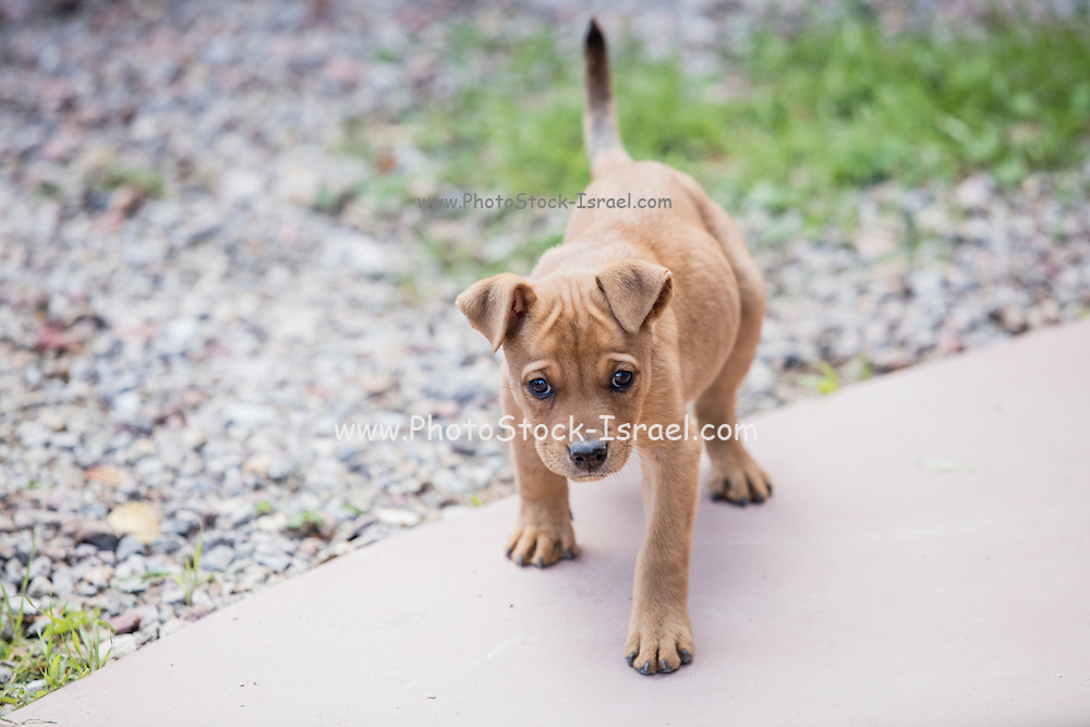 A young brown puppy