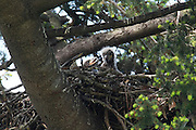 Two bald eagle chicks, estimated to be about a week and a half old, share a nest. The eaglets are in the process of replacing their natal down with thermal down, a process that begins at about 10 days of age. They are hatched with natal down, a light-colored down that has little insulating ability. After its replaced with thermal down, which occurs at about 15 days of age, the eaglets are able to regulate their body temperature on their own.