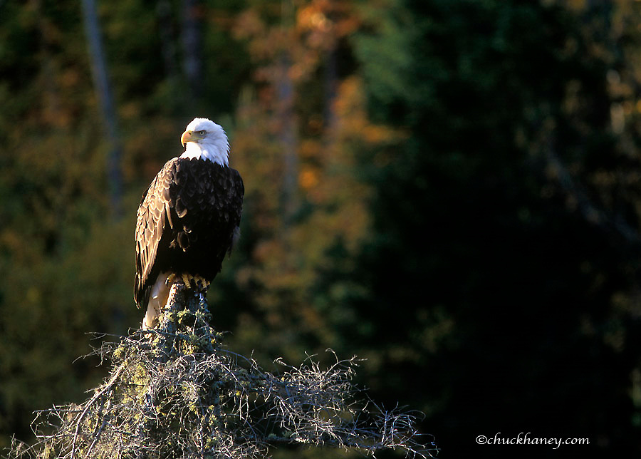 Mature Bald eagle in autumn in the Ottawa National Forest of Michigan
