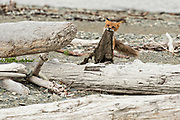 A red fox adult drags a beaver skin along the beach at the McNeil River State Game Sanctuary on the Kenai Peninsula, Alaska. The remote site is accessed only with a special permit and is the world's largest seasonal population of brown bears in their natural environment.