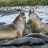 Two juvenile elephant seal weaners spar in a breeding colony at Gold Harbour on South Georgia Island.