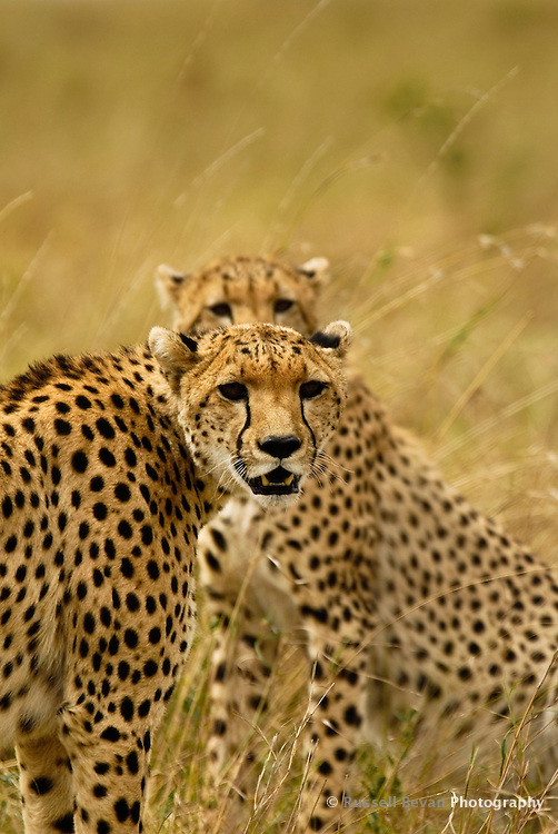 Two Cheetahs in the Masai Mara National Park, Kenya