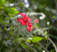 red flower in El Yunque rainforest, Puerto Rico.