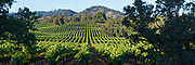 Wine Country Vineyard Panorama