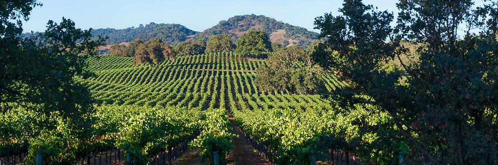 Wine Country Vineyard Panorama