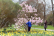 © Licensed to London News Pictures. 17/03/2014. Kew, UK People admire and photograph a magnolia tree amongst the daffodils. People enjoy the occasional sunshine at Kew Gardens today 17th March 2014. Photo credit : Stephen Simpson/LNP
