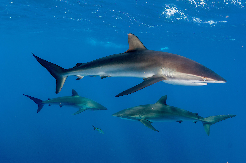 Silky sharks of all sizes hunt in the open ocean off Cuba.