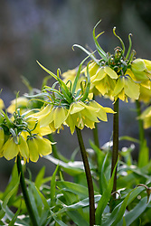 Fritillaria imperialis 'Early Sensation'