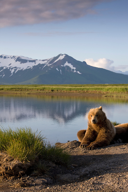 USA, Alaska, Katmai National Park, Brown Bears (Ursus arctos) resting along river along near Hallo Bay at sunset on summer evening