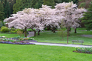 Cherry tree blossoms near the Rose Garden at Stanley Park in Vancouver, British Columbia, Canada