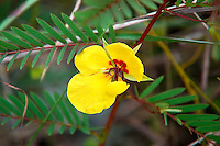 Deering's partridge pea growing in the Everglades National Park, where they will flower year-round.