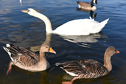 August 31, 2017 - London, United Kingdom - Scenes of daily life are pictured at Kensington Gardens, London on August 31, 2017. In the sunny afternoons, people use to gather and walk around the pond, amid swans and geese. (Credit Image: © Alberto Pezzali/NurPhoto via ZUMA Press)