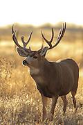 Large mule deer buck with broken tine.
