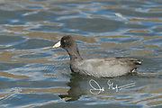 An American coot swims along the water surface.