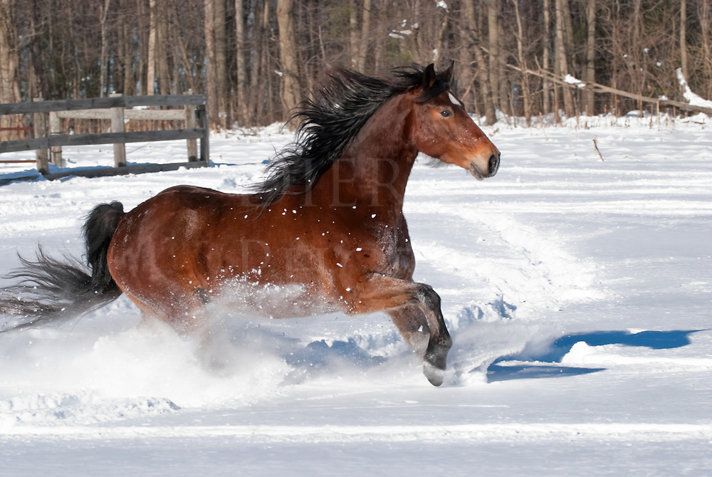Picture of Rocky Mountain horse running in new snow; also double registered as a Kentucky Mountain.