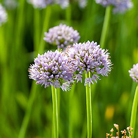 Purple Garlic Chives also called Tulip chives.