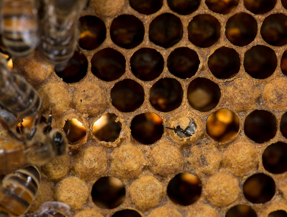 European honey bee (Apis mellifera), hatching, Captive,  credit: Palo Alto JMZ/M.D. Kern