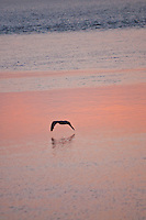 Long Island, New York - bird skimming the water at sundown.