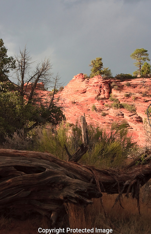 Ancient juniper tree represents the continuous evolving of the landscape.