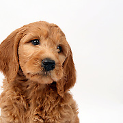 Golden Doodle puppy looks wistful for the camera head shot copy space