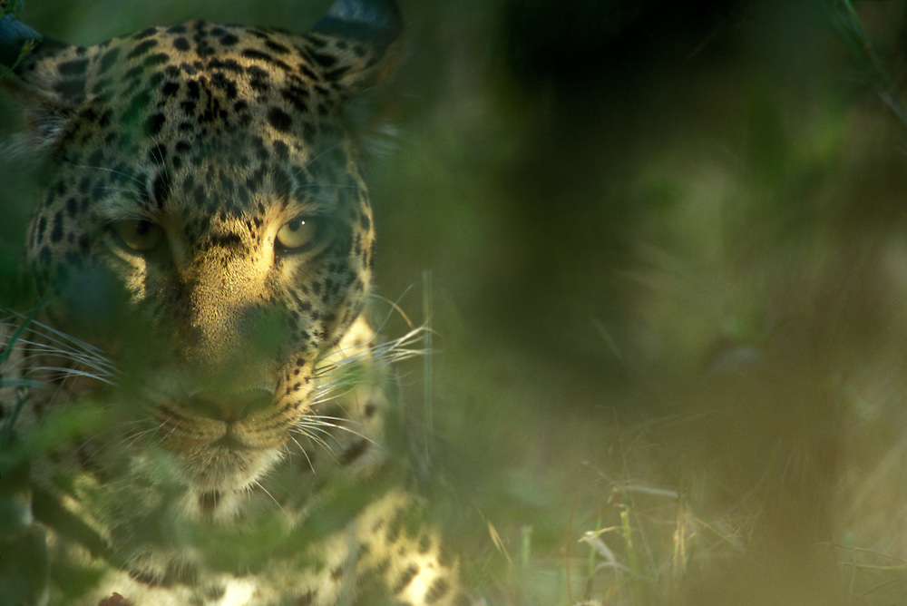 Africa, Kenya, Masai Mara Game Reserve, Adult Female Leopard (Panthera pardus) viewed through leaves of dense brush