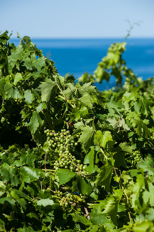 Vineyards with grapes by the sea near Trieste, Italy