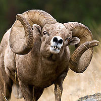bighorn ram, full curl trophy ram