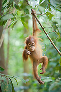Sumatran Orangutan<br /> Pongo abelii<br /> 1.5 year old baby dangling from tree branch<br /> North Sumatra, Indonesia<br /> *Critically Endangered