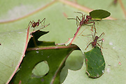 Leafcutter ants (Atta, Acromyrmex) at work next to the interoceanic Highway near Quincemil Peru