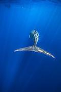 Dappled light and sun beams on Minke whale with snorkelers above. (Photo by Wildlife Photographer Matt Considine)