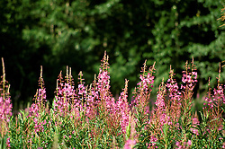 Alaska: Fireweed wildflowers.  Photo akgran104.  .Photo copyright Lee Foster, 510/549-2202,  lee@fostertravel.com, www.fostertravel.com