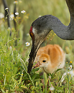 Sandhill crane chick eagely anticipates food as adult digs wet soil with its beak, © 2014 David A. Ponton