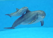 Dolphin Calves Born at Brookfield Zoo <br /> <br /> Tapeko and her 8-week-old male calf,<br /> Tapeko, a 31-year-old bottlenose dolphin, and her 8-week-old calf at Brookfield Zoo. The calf was born on October 16 at the zoo's Seven Seas exhibit.<br /> © Brookfield Zoo/Exclusivepix