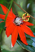 Scarlet Passion flower, Costa Rica rain forest Costa Rica