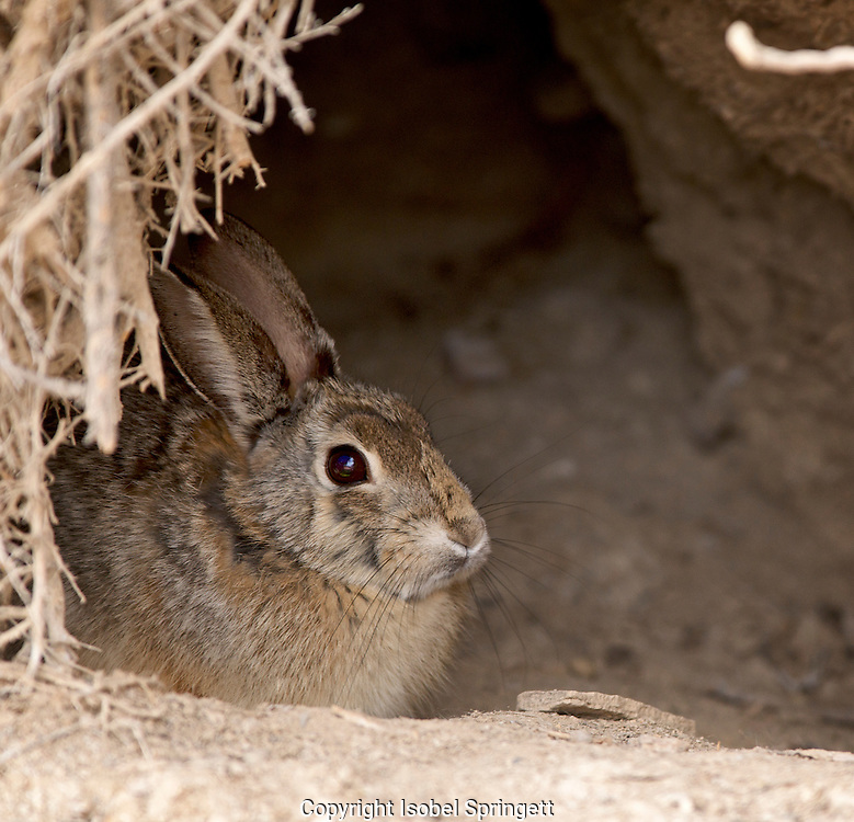Cotton Tail Bunny (Photo by: Isobel Springett).