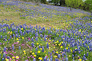 While bluebonnets predominate, a wide variety of wildflowers bloom throughout the Texas Hill Country.  In this scene alone are xx, yy, in addition to the ubiquitous bluebonnets.