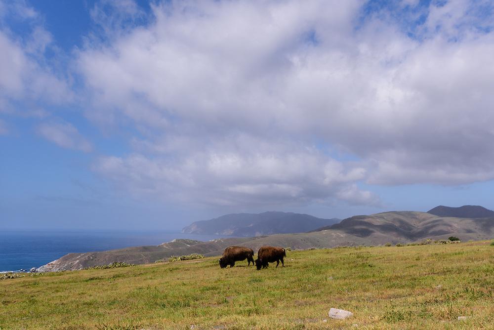 Buffalo, Santa Catalina Island, often called Catalina Island, or just Catalina, an island off the coast of the California in the Gulf of Santa Catalina. California, part of the Channel Islands