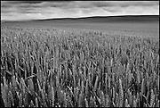Palouse Wheat Field Black and White Photograph, Washington State (2011)