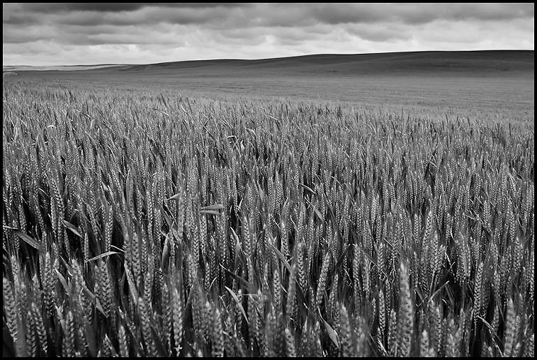 Palouse Wheat Field Black and White Photograph, Washington State (2011)